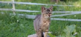 Nowe informacje o Precelku- skatowanym kocie.
